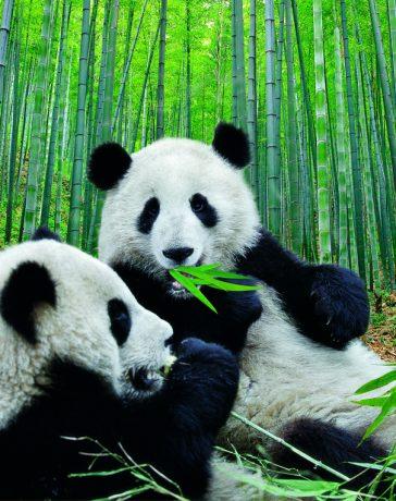 osos pandas origen