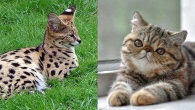 razas gatos extrañas